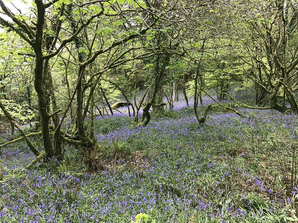bluebell woods at helsbury park
