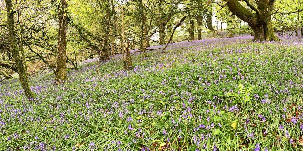 helsbury bluebells 2019