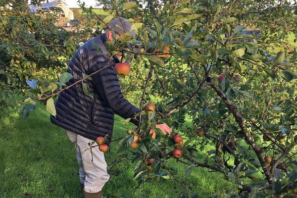 helsbury apple picking