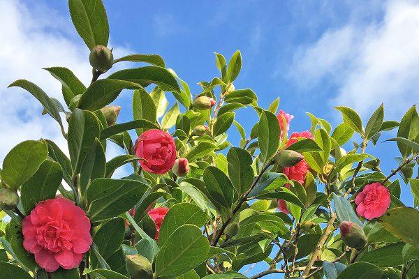 cornwall camellias
