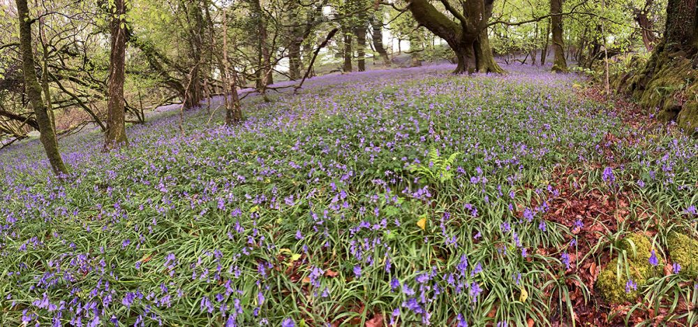 helsbury bluebells