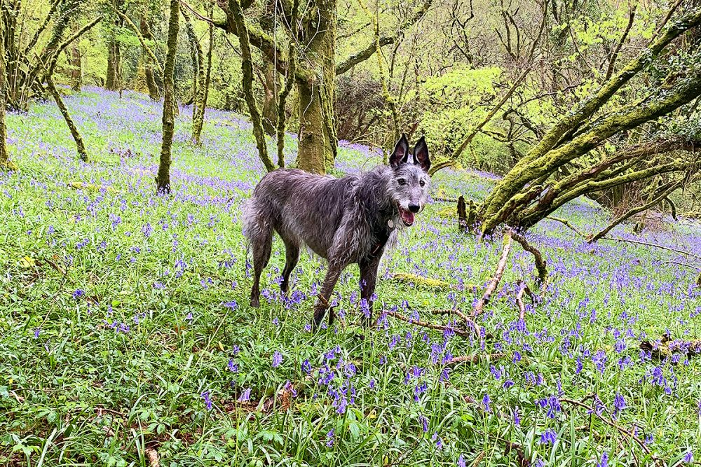 solly and bluebells